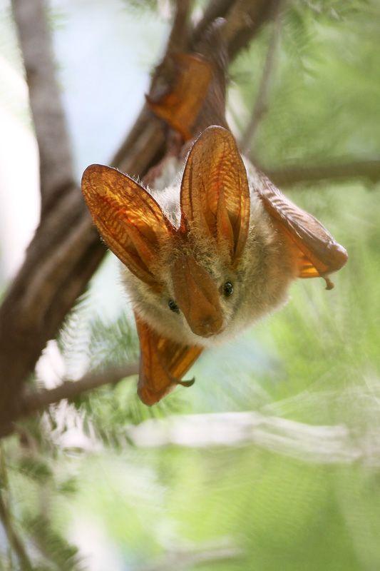 Yellow Winged Bat- Lavia frons.  www.batsbirdsyard.com = Bat houses                                                                                                                                                      More