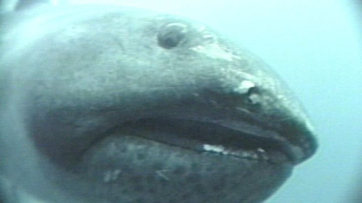A rarely seen shark known as the megamouth looks fearful but is a filter feeder.