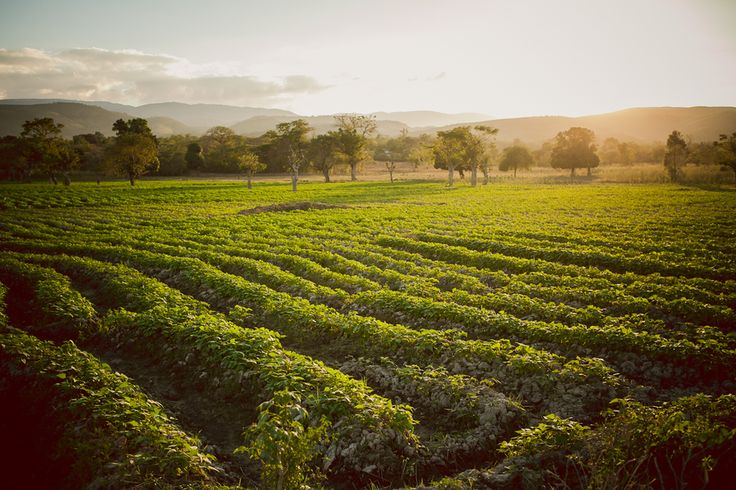 Sweet potato farm in Deschapelles, Haiti. by Jessica Buckle