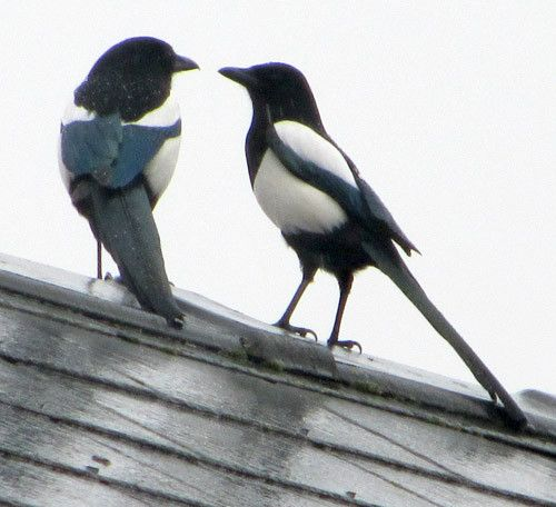 Magpies (two for joy, of course)