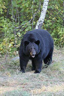 Bear - Wikipedia, the free encyclopedia - American Black Bear [Ursus americanus]