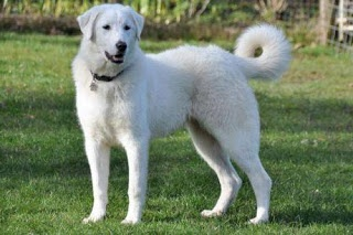 Akbash Dog - A native of Turkey, the Akbash Dog is a striking white flock guard that has made a name for itself on American farms and ranches, where it successfully protects livestock from grizzly and black bears, wolves and coyotes.