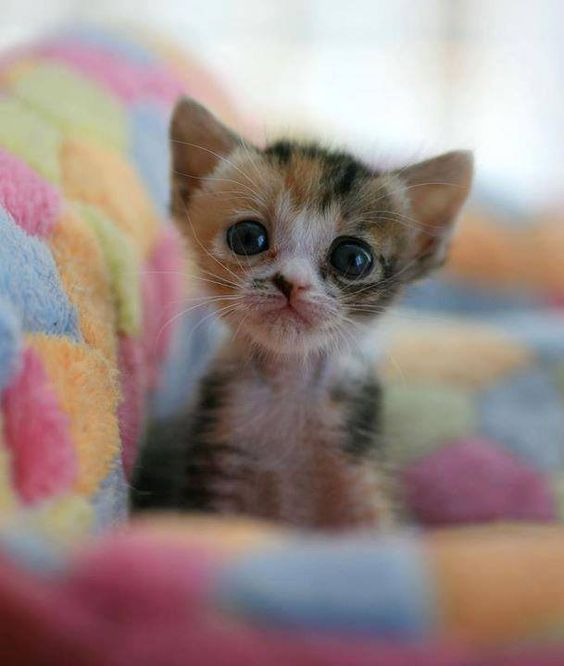 <3 <3 <3 <3 <3 <3 <3 ITTY BITTY CALICO KITTY :D