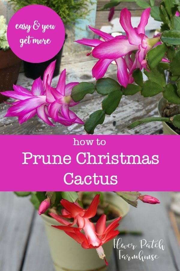 How to Prune your Christmas Cactus Houseplants Pinterest