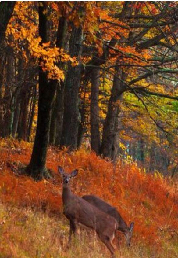 Deer in Autumn woods