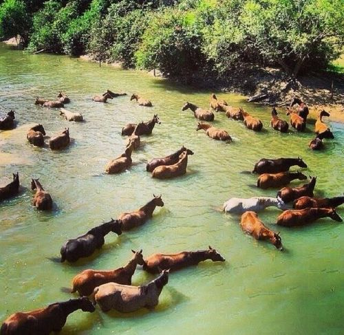 Herd of horses cooling off.