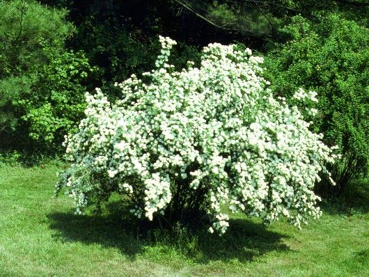 "Beneficial Landscapes: Who's behind the plants you love?""The smell of bridal wreath spirea and its spring bounty of white blossoms always takes me back to my childhood days playing under its arching stems along the front of my childhood home."