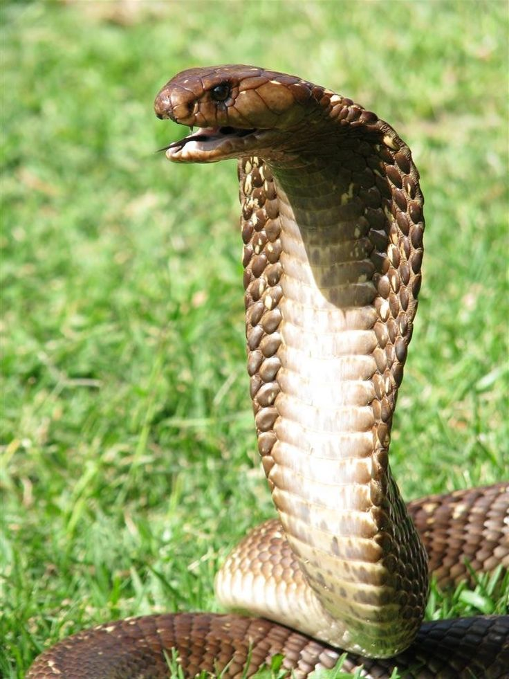 101 best images about colorful cobra on pinterest king