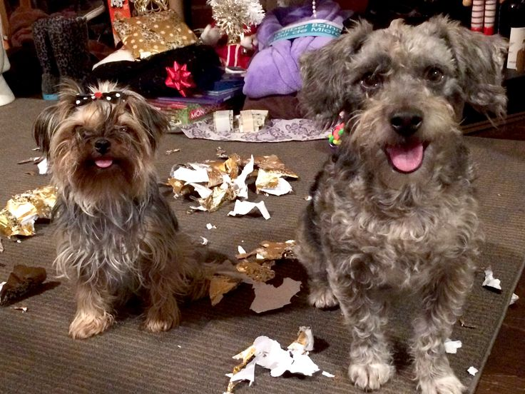 Our dogs after opening their Christmas Presents