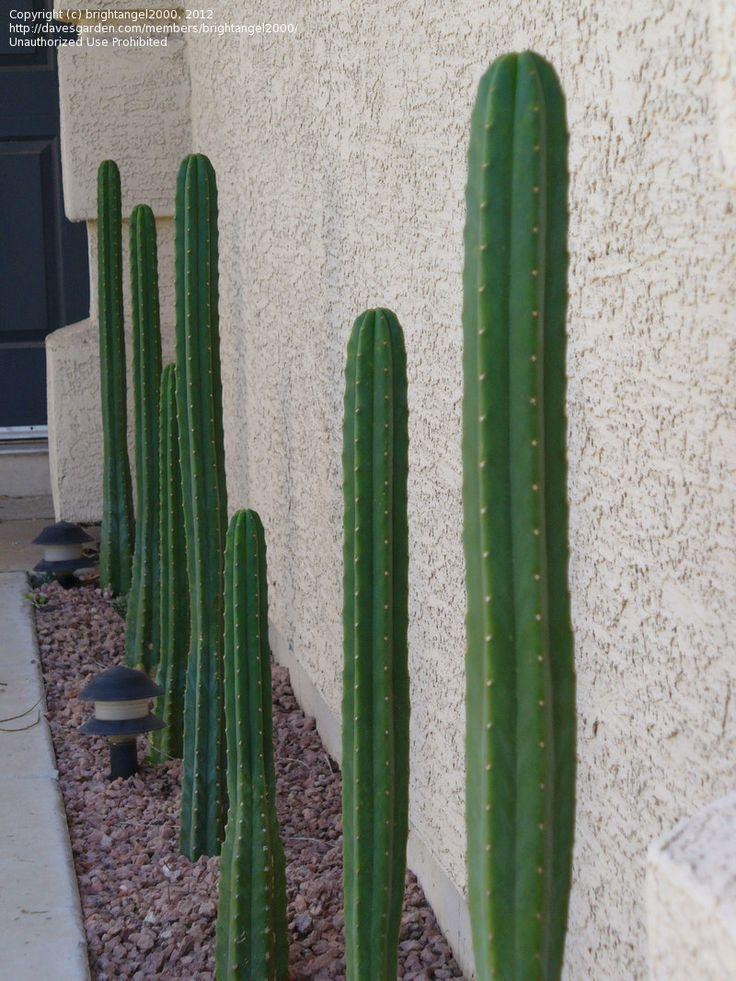PlantFiles Pictures: Achuma, Aguacolla, Gigantón, Huachuma, San Pedro Cactus (Echinopsis pachanoi) by brightangel2000