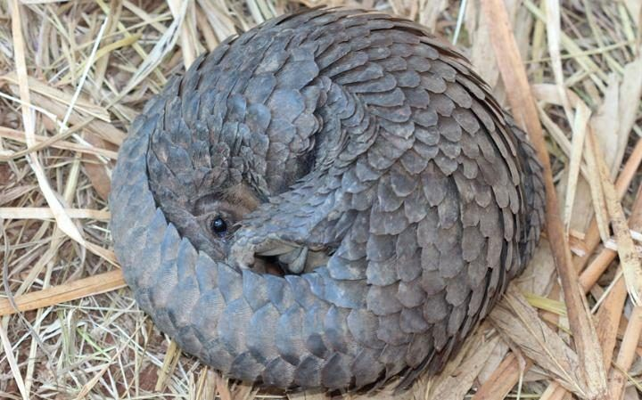 To protect itself, pangolins can roll up into a near-perfect ball, covering their faces and undersides, which aren't as tough as their keratin scales.