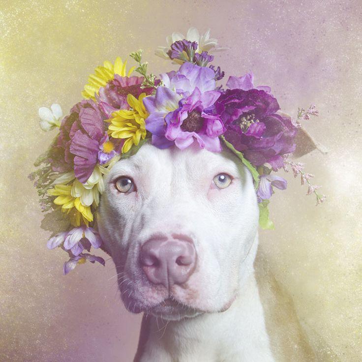 Sophie Gamand Muestra el lado Dulce y Tierno de los Pit Bulls en su Serie Flower Power   FuriaMag   Arts Magazine