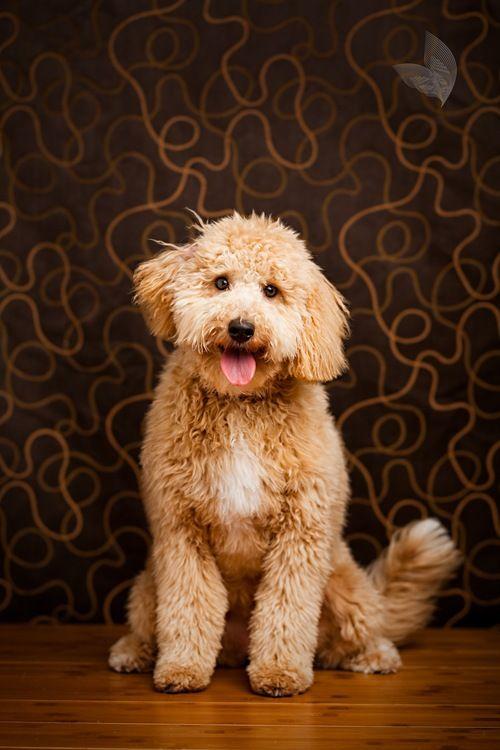 706 Best Oodles Of Goldendoodles Images On Pinterest