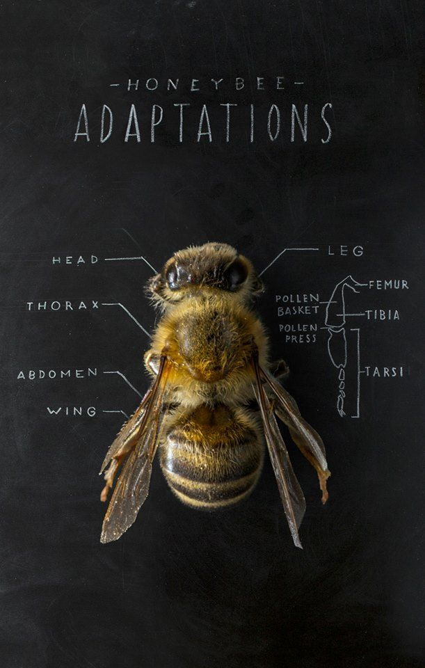 WHY DO I LOVE THIS? Bee Anatomy #chalkboard #illustration