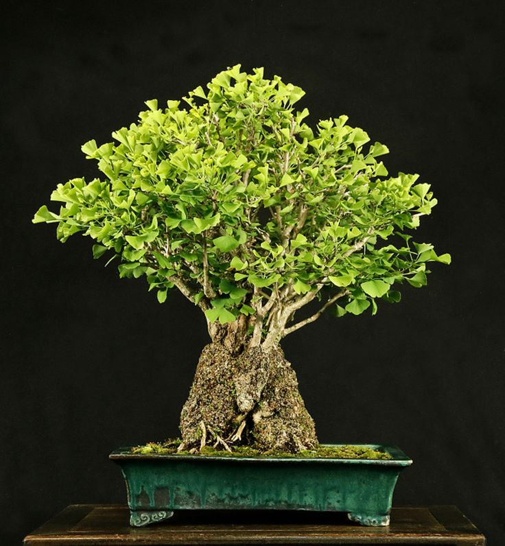 86 best ginkgo bonsai images on pinterest bonsai trees. Black Bedroom Furniture Sets. Home Design Ideas