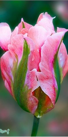 Yes, this is a tulip not a rose. But it's my board and I'll pin tulips if I want to (pin tulips if I want to)......[ You Go Girl..yeah...LOL...♥ ♥ ..tulips..dr]