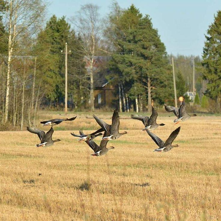 Metsähanhet nousukiidossa/Bean Geese taking off #finland #suomi #pyhtää #beangoose #metsähanhet #outdoors #nikon #luontokuvaus #lintukuvaus #nikontop #nikonbirdphotography #nikonphotography #nikond7100 #nikond7100photography #naturephotography #naturelovers