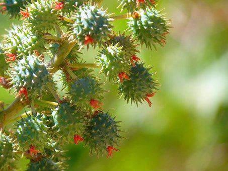 """El aceite de ricino, conocido tradicionalmente como aceite de castor por su traducción del inglés """"castor oil"""", es obtenido de la planta..."""