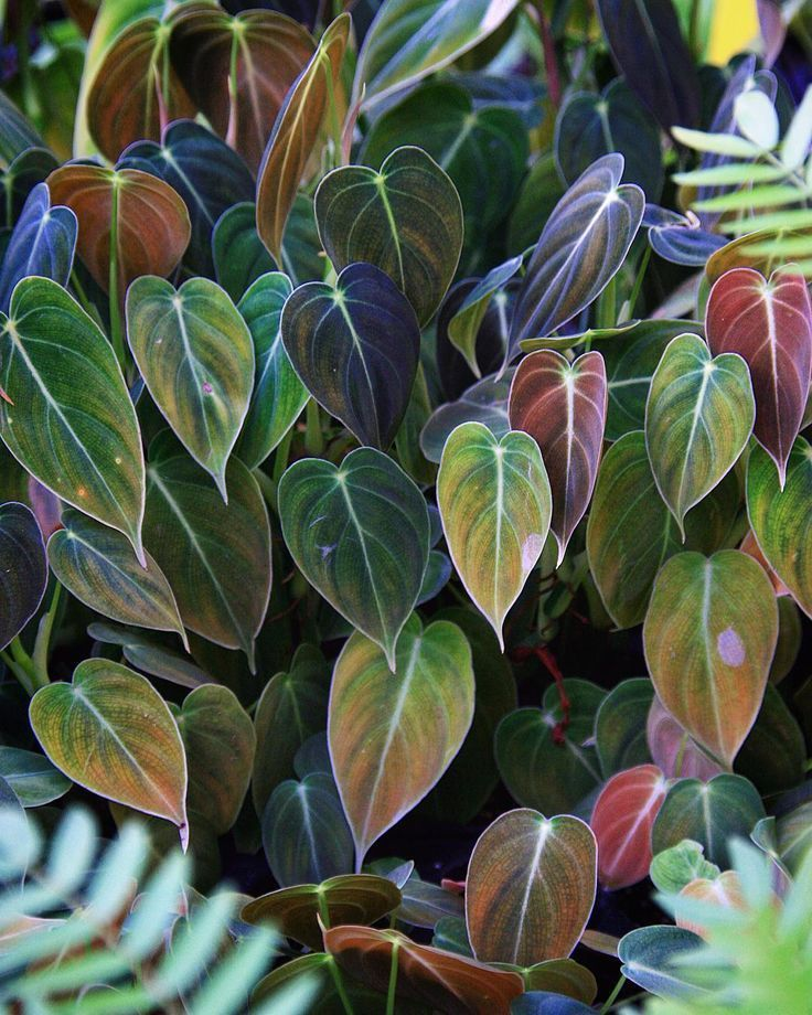 Black Gold Philodendron (Philodendron melanochrysum) A suitable plant for this