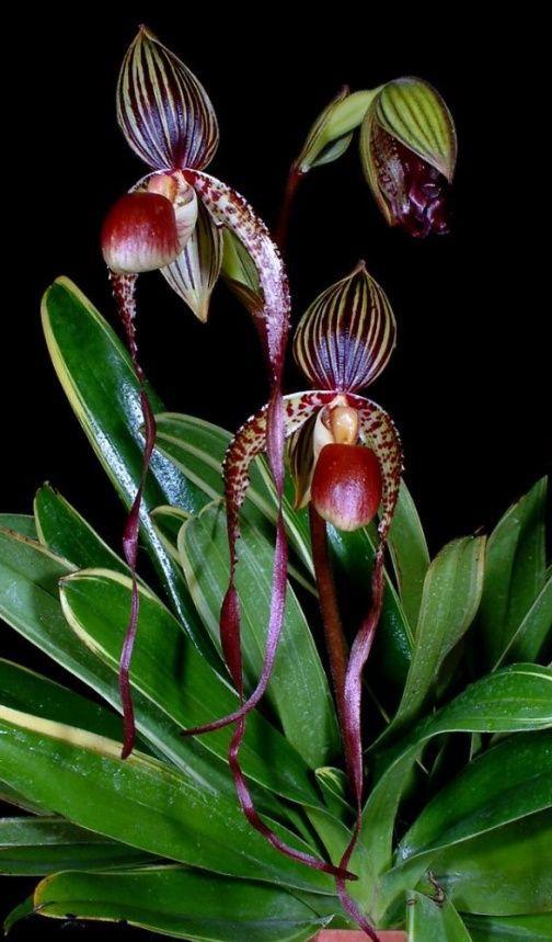 Orchids, Paphiopedilum