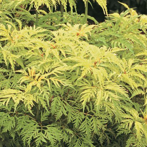 Best Trees And Shrubs Images On Pinterest Garden Plants