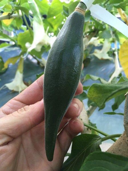 Brugmansia FWR Fruit