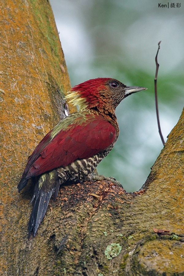 Banded Woodpecker, Chrysophlegma miniaceum  -  Brunei, Indonesia, Malaysia, Myanmar, Singapore