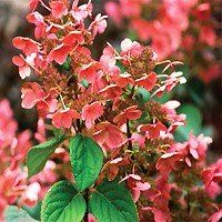 Quick Fire Hydrangea Flowers
