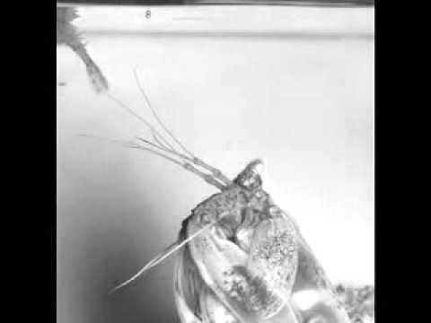 Estes clipes vídeos mostram o camarão Mantis, L. maculata, a apanhar as suas presas, saltando das suas tocas e bazando-as.