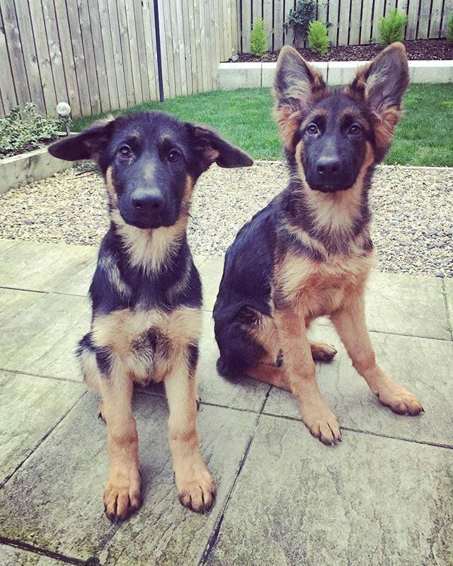 Visit Our Website For More Info On German Shepherd Puppies It