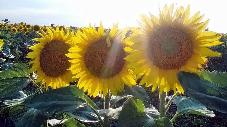 #summer #flowers #sunflower