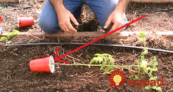 """Profesionálny pestovateľ uložil priesady paradajok na zem """"bokom"""": Vďaka tomuto budete bohatšiu úrodu ako kedykoľvek predtým!"""