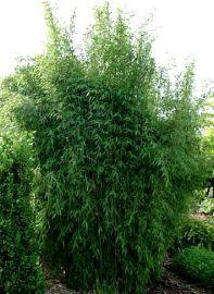 Les 25 meilleures id es de la cat gorie fargesia sur - Jardin de bambou cannes ...
