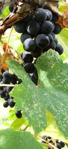 Silver Sage Winery Oliver BC - Okanagan BC Best Award Vineyard
