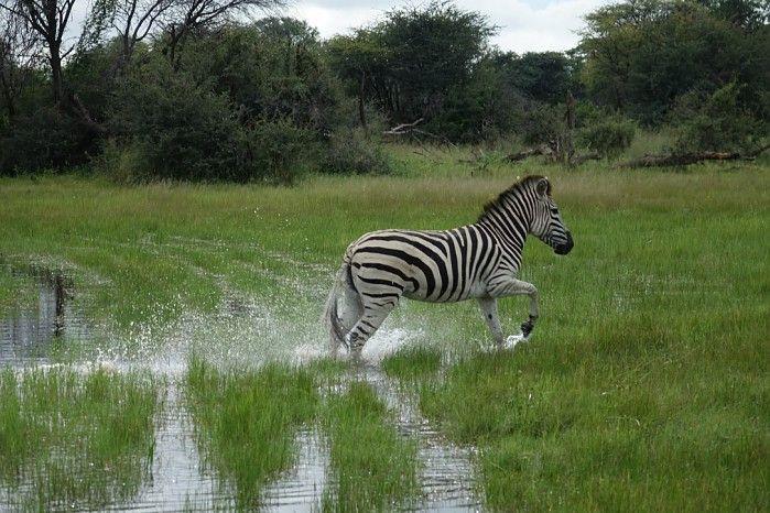 A summer #greenseason safari in Zimbabwe can be very productive