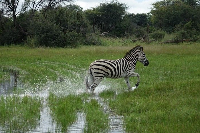 A summer #greenseason safari in Zimbabwe can be very productive