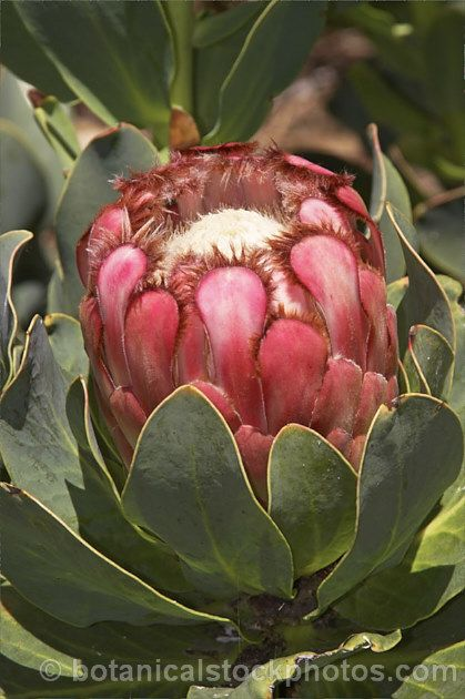 Protea Grandiceps Princess Protea/Red Sugarbush Rooisuikerkan 2m S A no 89,2