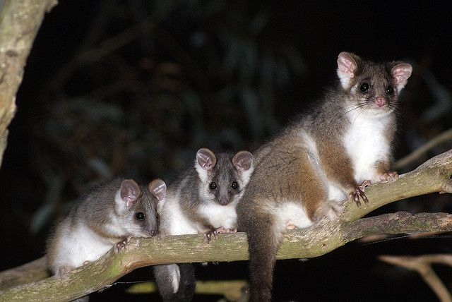 3 little ring tail possums