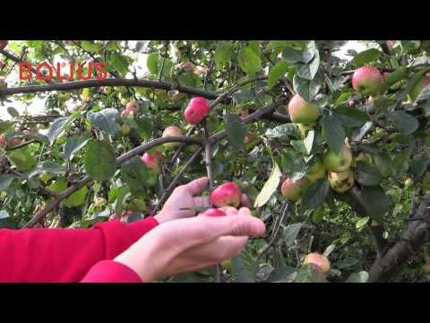 Sådan får du mest ud af dit æbletræ
