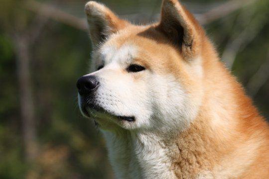 Акита-ину (яп. 秋田犬 «собака Акита») — порода собак, выведенная в провинции Акита на японском острове Хонсю. Другие названия: японская собака акита.