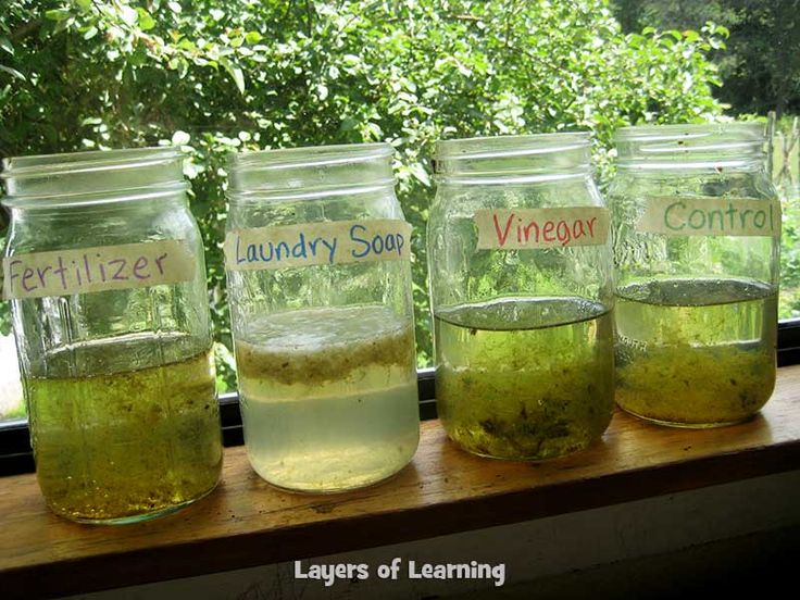 Try this algae and pollution experiment with your kids when you're studying ecology. All you need is pond water, jars, and some pollutants to add to it.