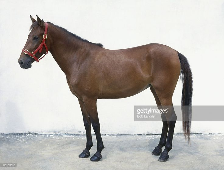 Foto de stock : Padang pony, standing, side view. The Padang stands approximately 12.2-13 hh at the withers. They have small heads, small ears, a short, muscular neck, deep chest, sloping croup, sloping shoulder, good coupling, strong back, slight builds, and light legs. They come is all colors. They have thick manes and tails.