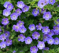 Hardy Geranium (Cranesbill).Reliable, low maintenance, ground cover that will wander through your borders year after year.