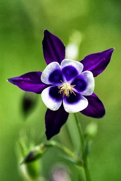 Purple Columbine We have tons of these in purple and in pink. So cheerful and…
