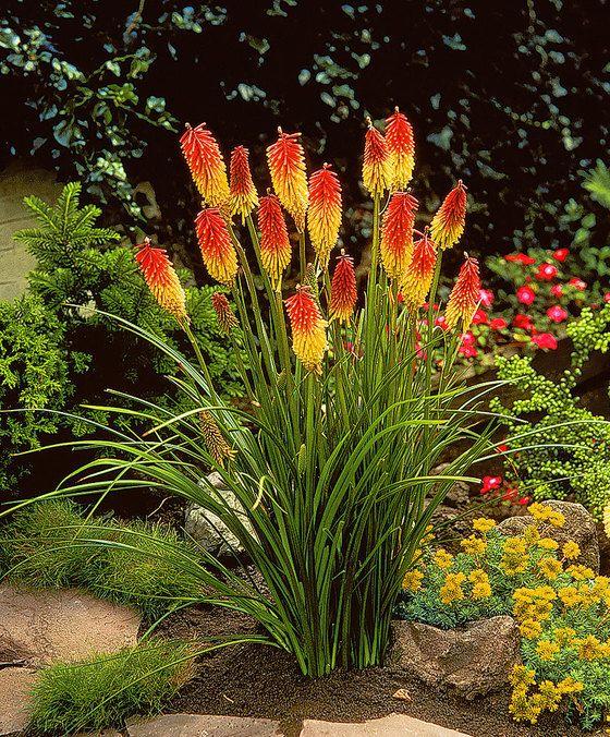 Vuurpijl 'Grandiflora'