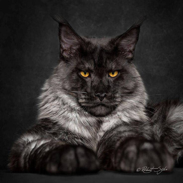 Maine Coon Cats Like Majestic Mythical Beasts by Robert Sijka, http://babepup.com/maine-coon-cats/