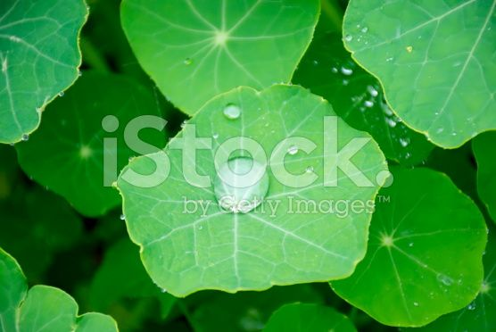 Nasturtium Leaves with Rain royalty-free stock photo