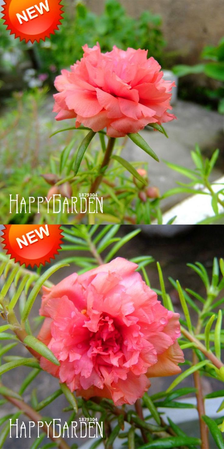 [Visit to Buy] Big Sale!200 Pcs/pack Pink Portulaca Seed Flower Balcony Garden Potted Plants Flower Purslane Seeds Scutellaria Barbata,#Y8WF6D #Advertisement
