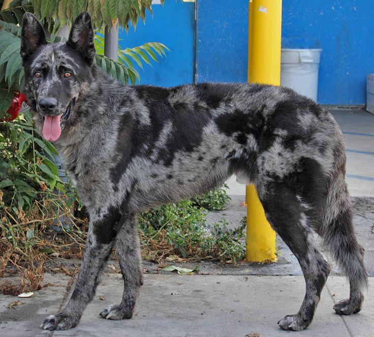 Huck von Haren is a stunning looking 3 year old XLarge blue merle German Shepherd. (mix?) - Westside German Shepherd Rescue of Los Angeles - Click for more pictures