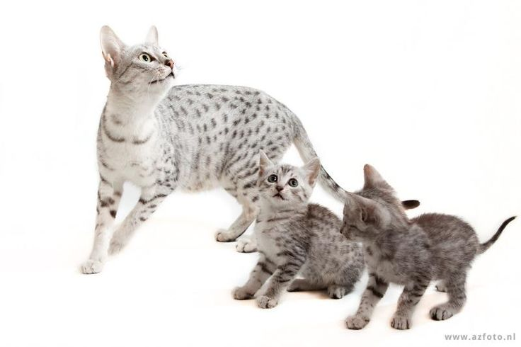 Egyptian Mau Cat and Kittens | Cattery van de Schooiertjes | The Netherlands | www.kittentekoop.nl
